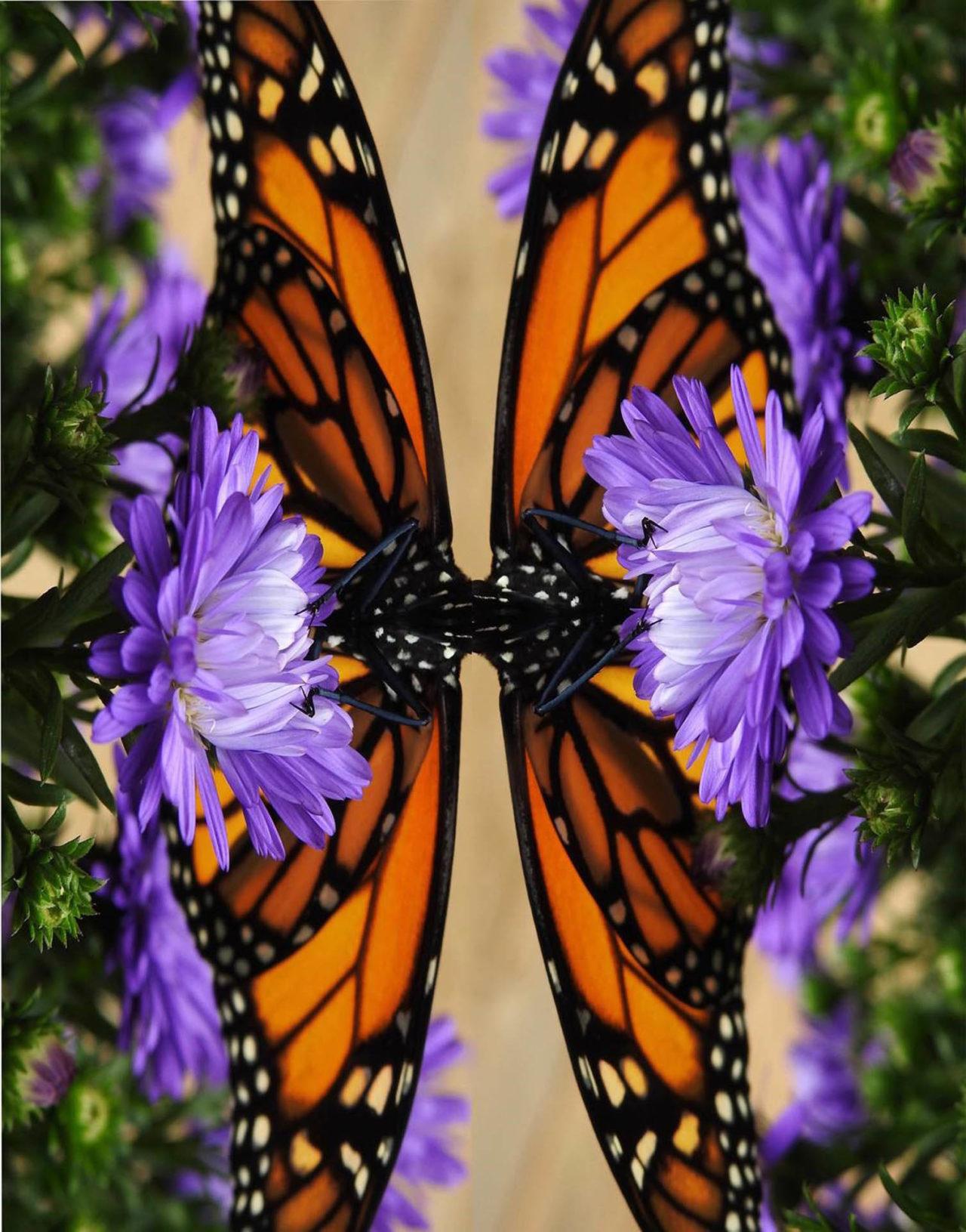 Mirrored Monarch - Nancy Tully