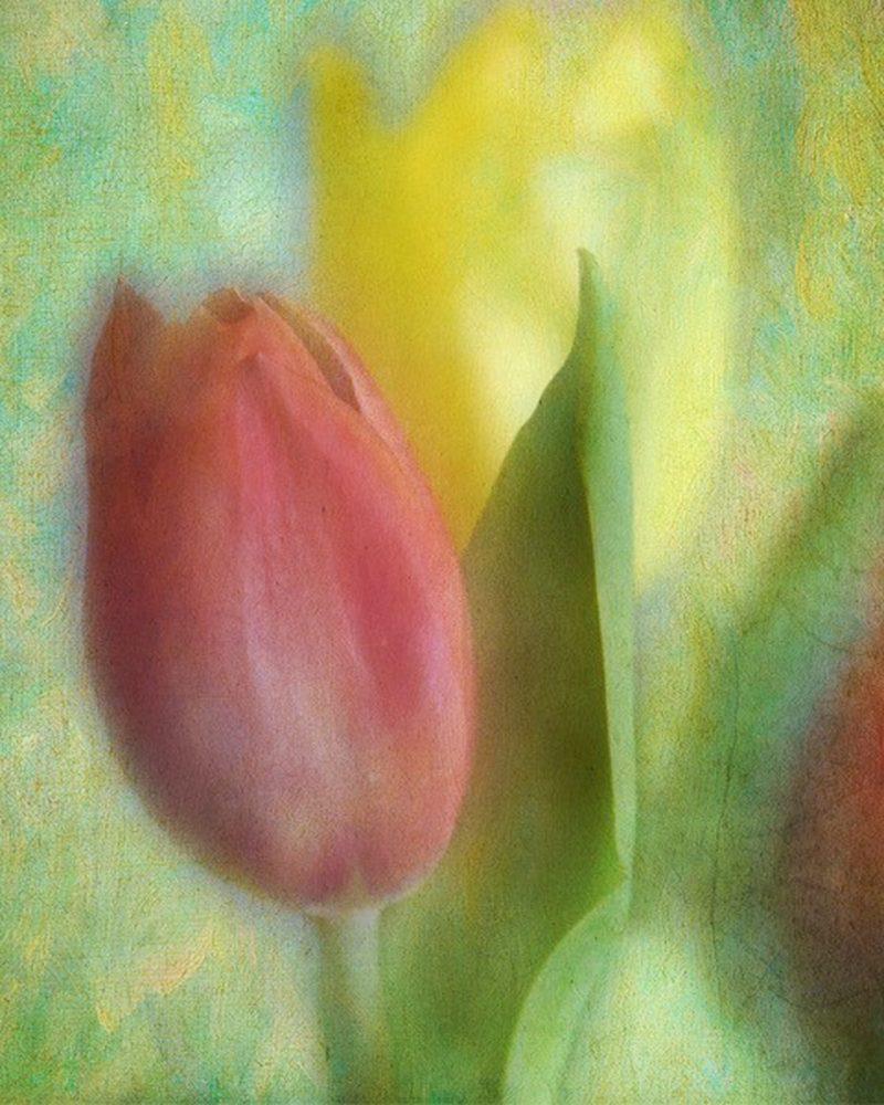 Tulips - Samet
